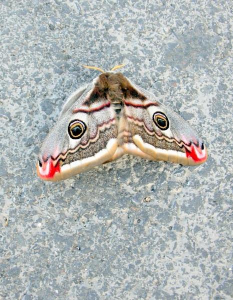 Hawks Head Moth by jimmy-walton