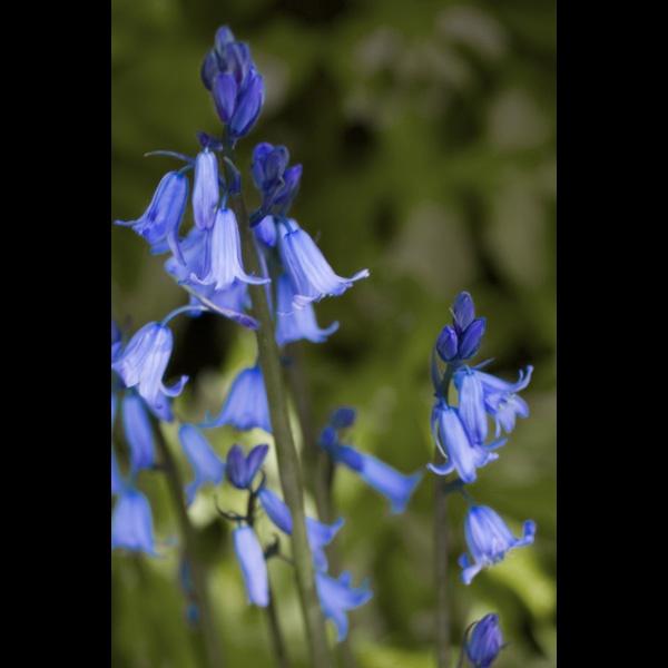 Bluebells by Goggie
