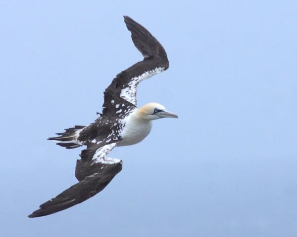 Gannet Flight by TerryMcK