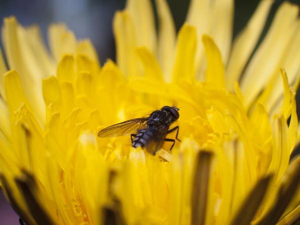 Fly on dandelion by Nick_potts