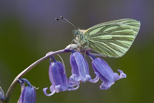 Green Veined White on Bluebell flower by Guy_Rogers
