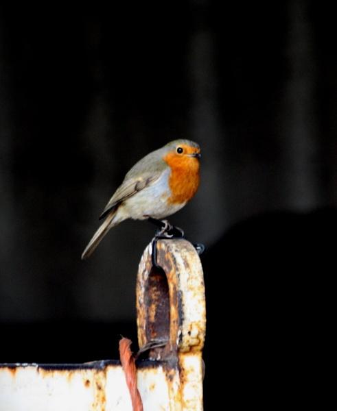 robin by hagrid