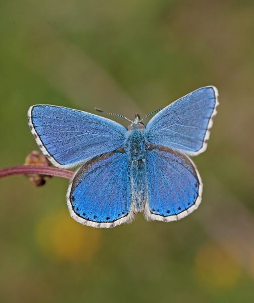 Adonis Blue by Ray_Seagrove