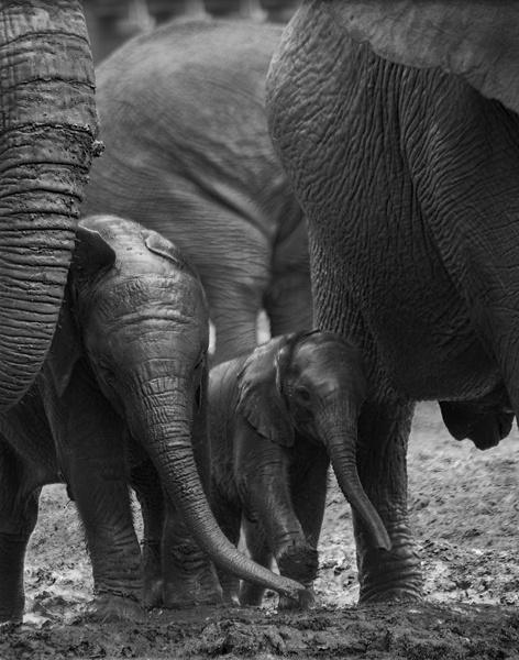 Elephants with new born by softlight