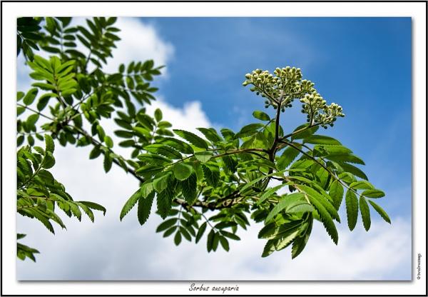 Sorbus aucuparia by twelvemegs