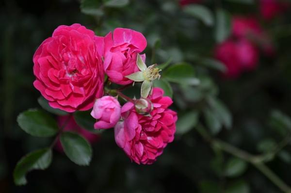 Roses by tashi