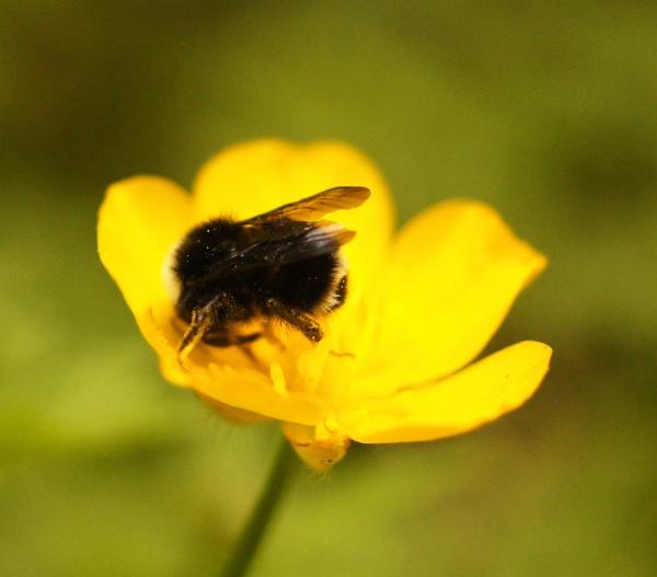 Bee 1 by Sararose