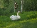 Swan by PompeyPam