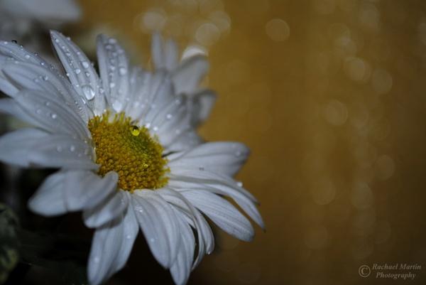 Daisy by VisualPoems