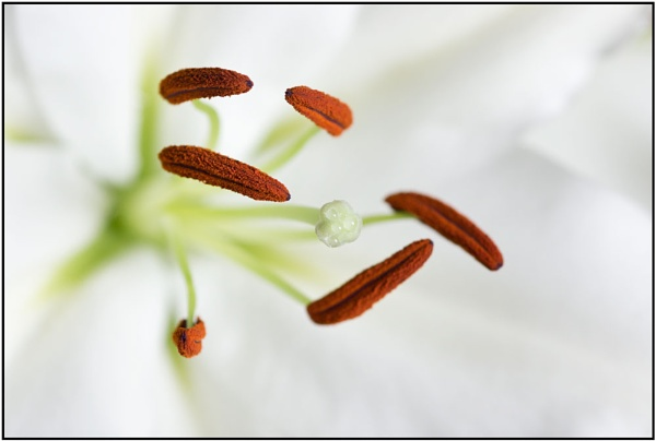 The Heart of a Lily