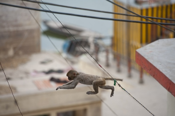 Varanasi Monkey by Greeneye1