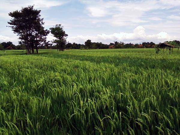 Rice Field by arhab
