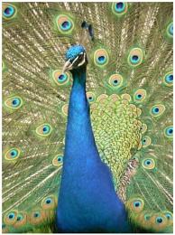 peacocks at Newark Park Gloucestershire  reload