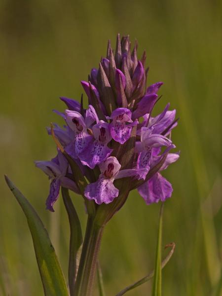 Northern Marsh Orchid by skewey
