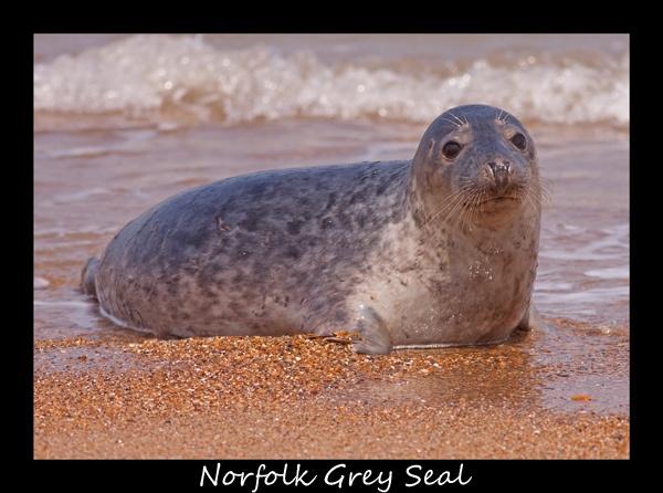 Grey Seal by fatmod