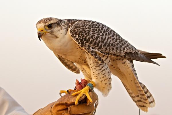 Gengis - the Brad Pitt of Falcons by P_Higham