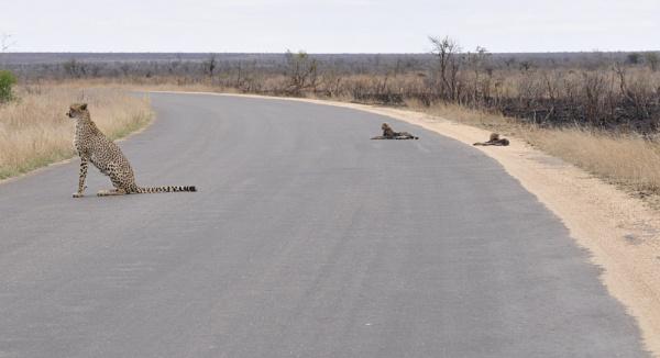 Roadblock Cheetah style by Kruger01