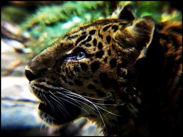 Amur Leopard by mrjes