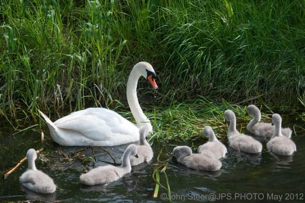 Swan with 8 cygnets by SkySkape