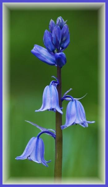 Bluebell by martinjp