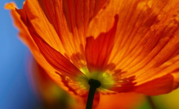 Poppy Light by EventHorizon
