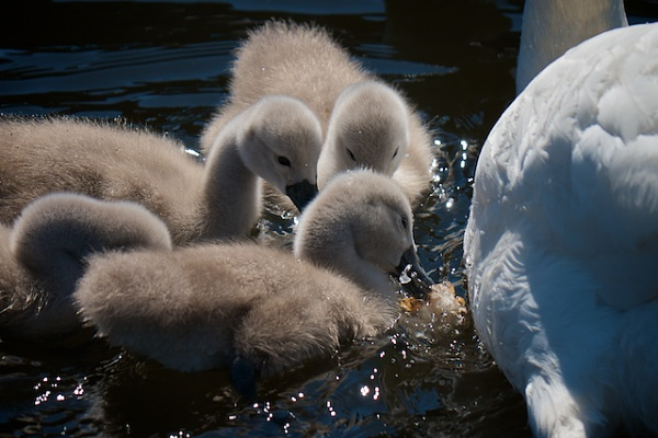 Lunch for the Cygnets by Carrera_c