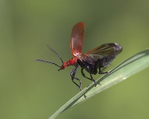 Cardinal Beetle (Pyrochroa serraticornis) by Gio