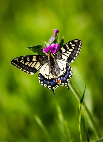 Male Swallowtail butterfly by ianrobinson