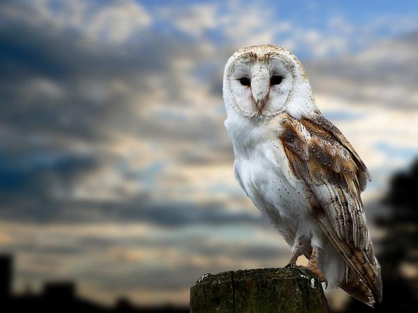 barn owl on fence post. by NeilWigan