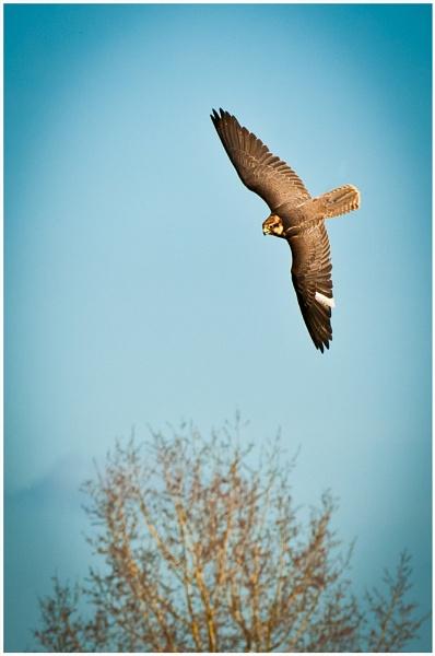 Female Saker Falcon by achieverswales