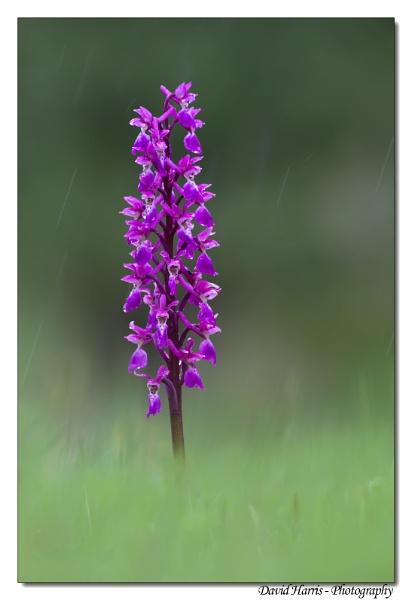Early Purple Orchid - in the rain by johnjo58
