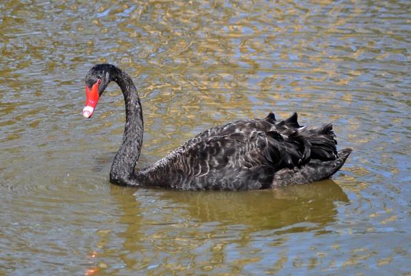 Black Swan by Chazzzyb