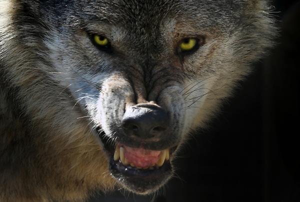 Werewolf by Metro6R4