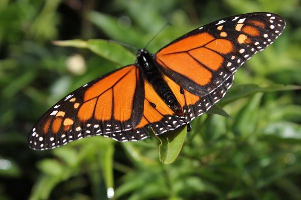 Monarch Butterfly by KIWIGIRL78