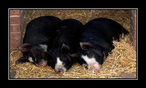Three Little Pigs by kristinadimascio