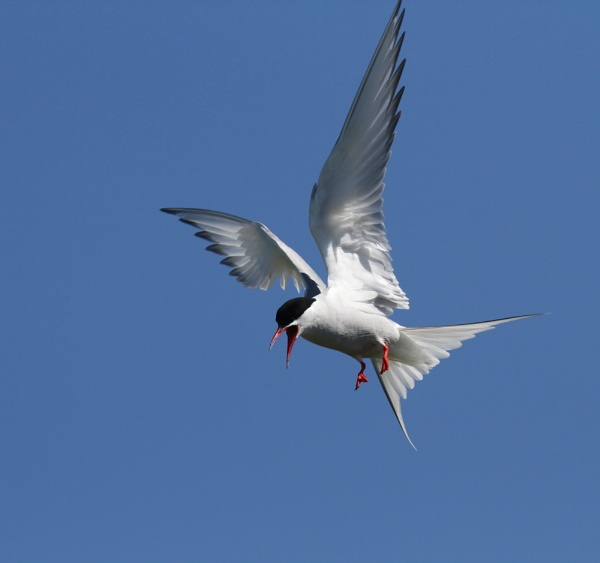 Arctic Tern by MickWest
