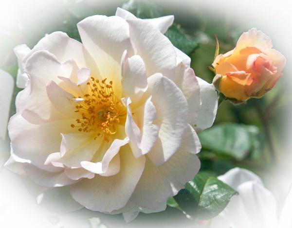 Rose and Bud by mashwood10