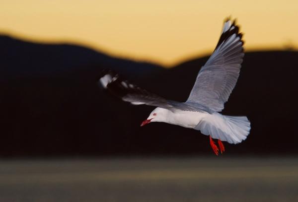 Silver Gull by steevo46
