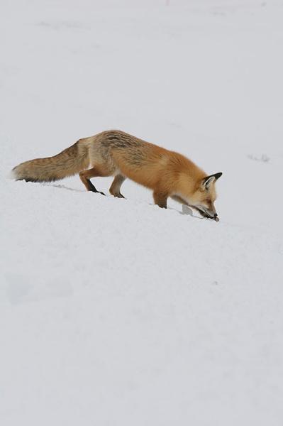 yellowstone red fox by robertjhook