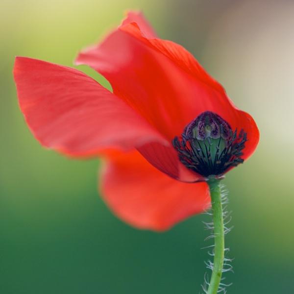 poppy by danbaker1988