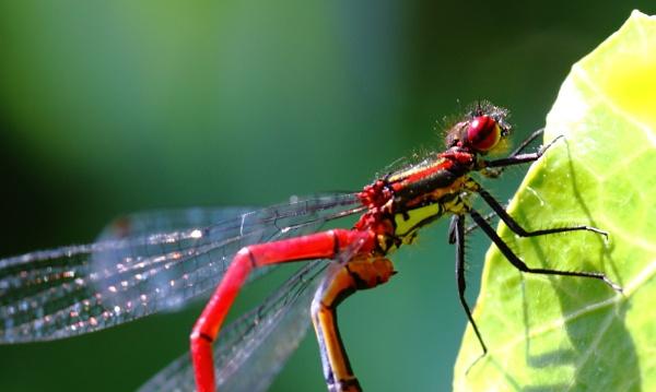 Damsel Flies by warbstowcross