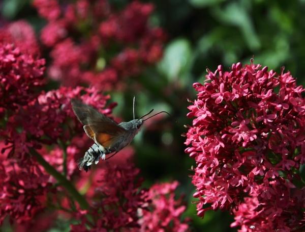 Humming Bird Hawk Moth by warbstowcross