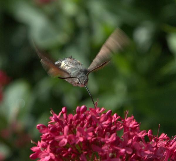 Humming Bird Hawk Moth Feeding by warbstowcross