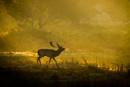 Fallow buck at sunrise