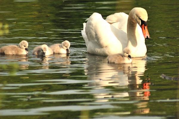 Swan with her four cygnetÂ's .. by jgmford