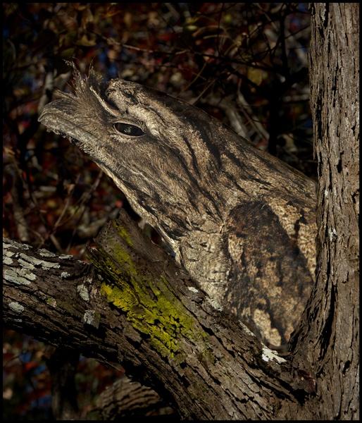 Tawny Frog Mouth by RHSOldboy