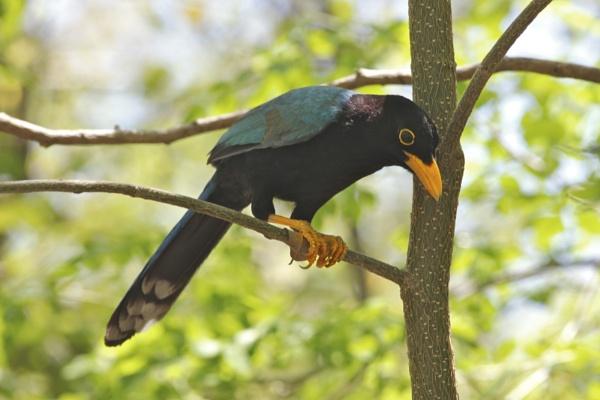 Yacatan Blue Jay by Jason_Bonsey