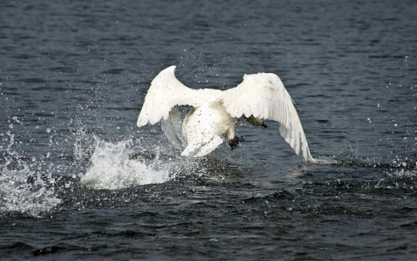 Swan landing by malleader