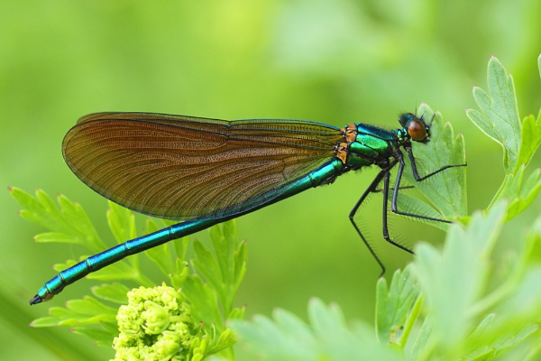 Beautiful Demoiselle by Ade_Osman