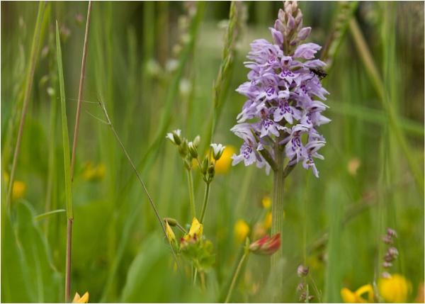Wild Flowers by mickyr